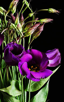 275px-Eustoma_grandiflorum_purple_02