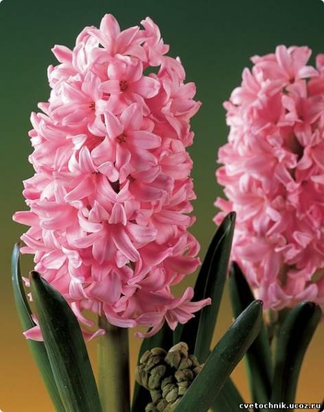 цветы гиацинты фото: